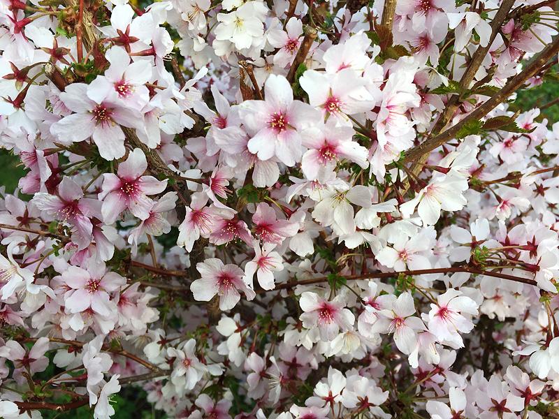 Prächtig in der freien Luft - so weiß der Frühling, i-phoneography, 05.04.2016