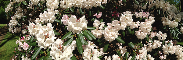 BREMEN, RHODODENDRON, Detail, i-Phoneography, 10.05.2015