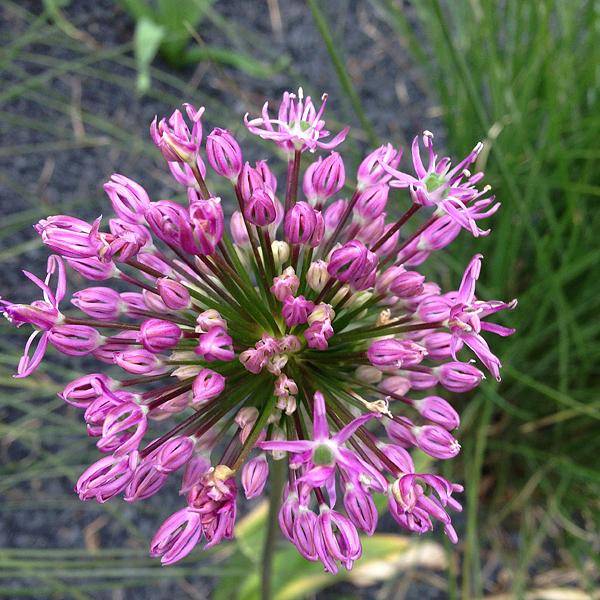 Allium aflatunense - Purpur-Kugellauch, 25.05.2015