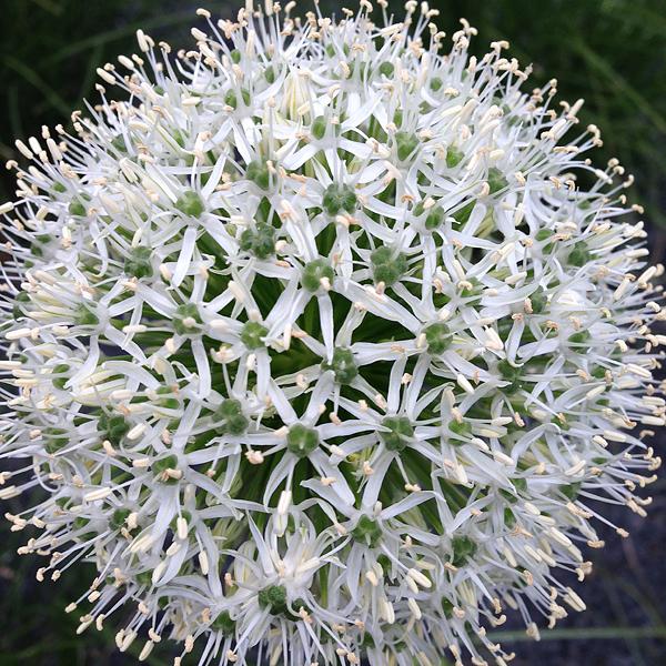 Allium karataviense - Weißer Blauzungen-Lauch, 25.05.2015