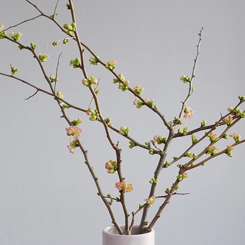 Japanische Scheinquitte, der Frühling ist nah, 19.01.2015