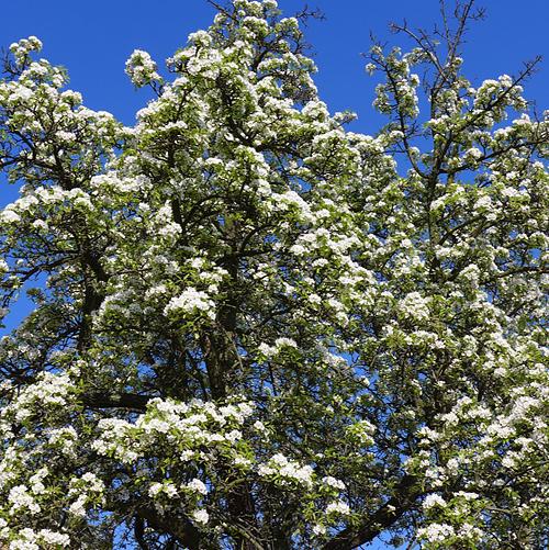 Frühling im Hof, fleurs de printemps, Birne in Pracht, Bienen fliegen, 19.04.2015