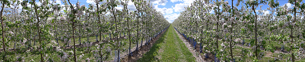 Apfelblüte im Mansfelder Land, 07.05.2015