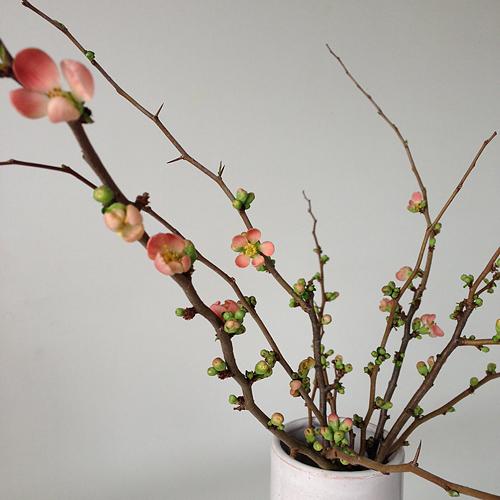 Japanische Scheinquitte, der Frühling ist nah, 16.02.2014